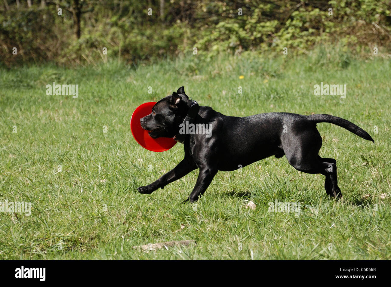 Black Staffordshire Bull Terrier with red frisbee - Stock Image