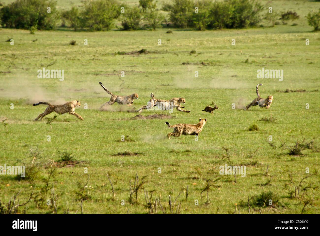 Cheetah and cubs chasing Thomson's gazelle, Masai Mara, Kenya - Stock Image