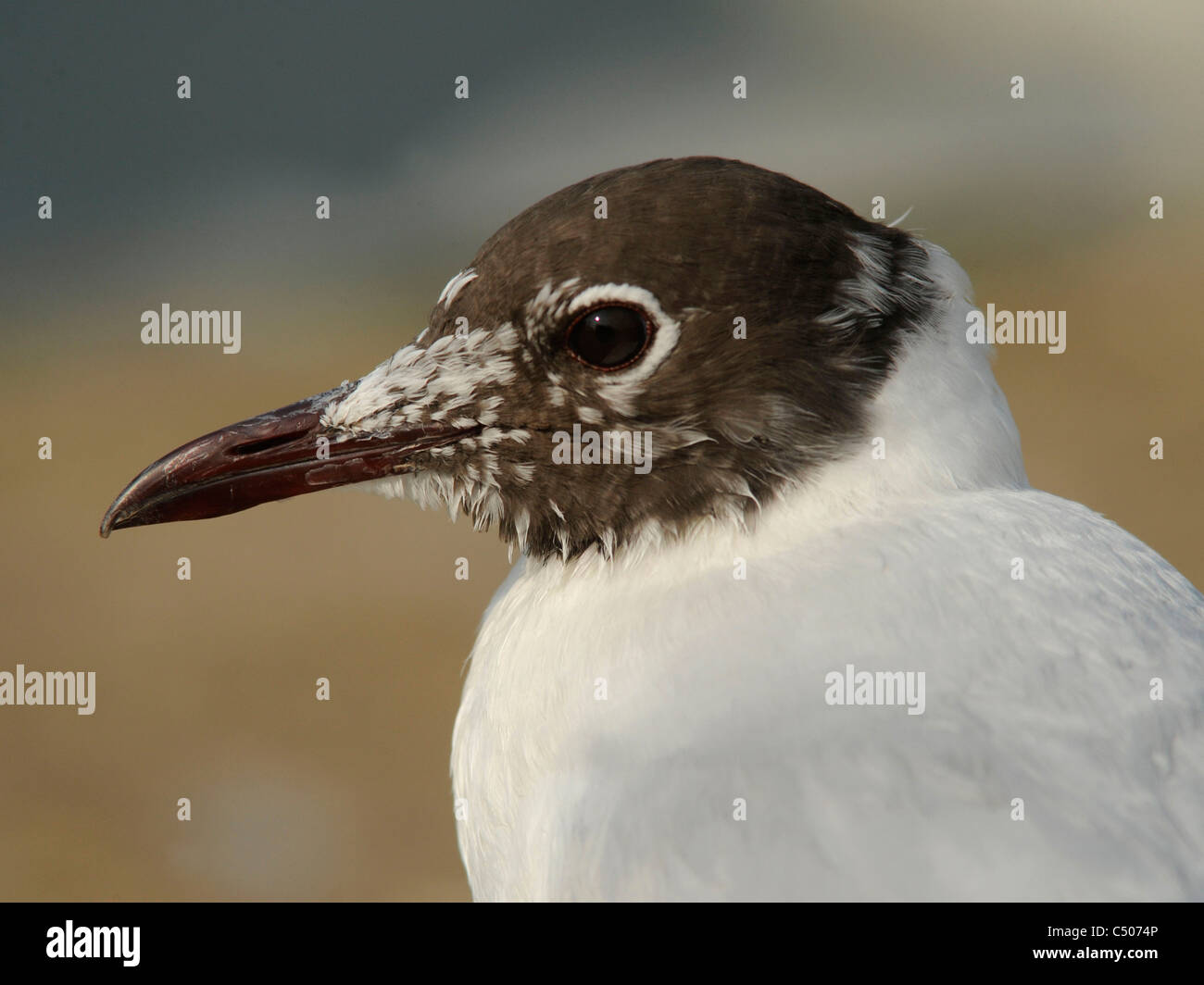 The portrait of a black-headed gull. - Stock Image