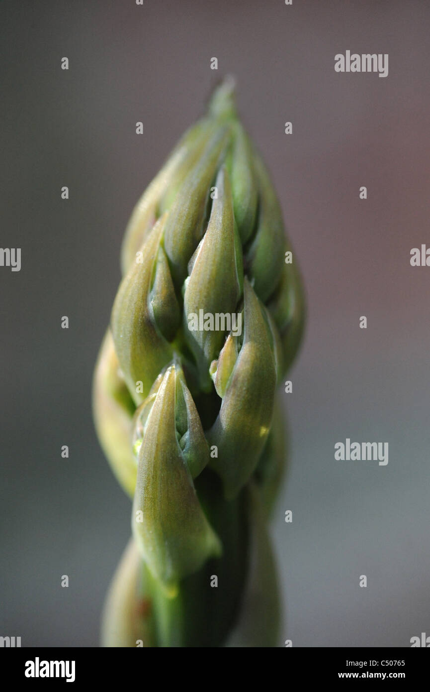 The tips of an asparagus. - Stock Image