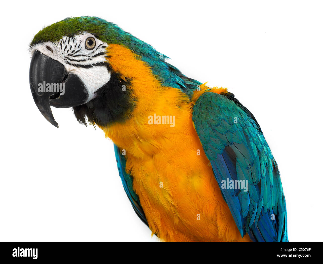 A portrait of a macaw, a new world parrot. - Stock Image