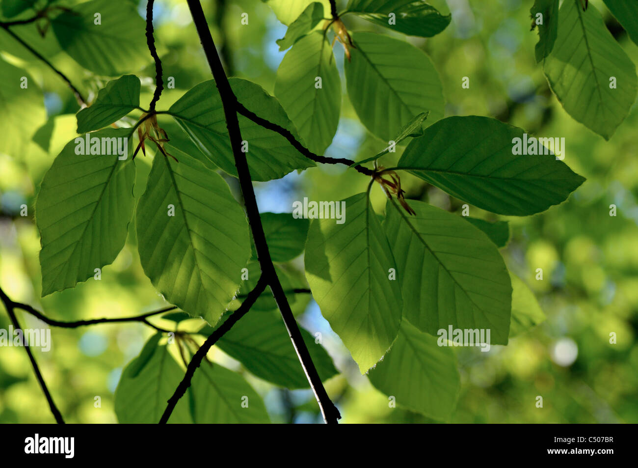 Tree leaves with back light - Stock Image
