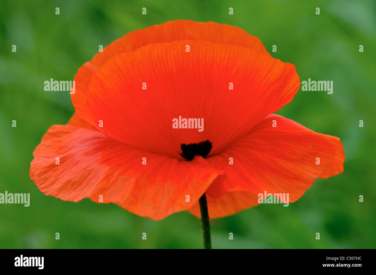 Flower of red poppy. - Stock Image