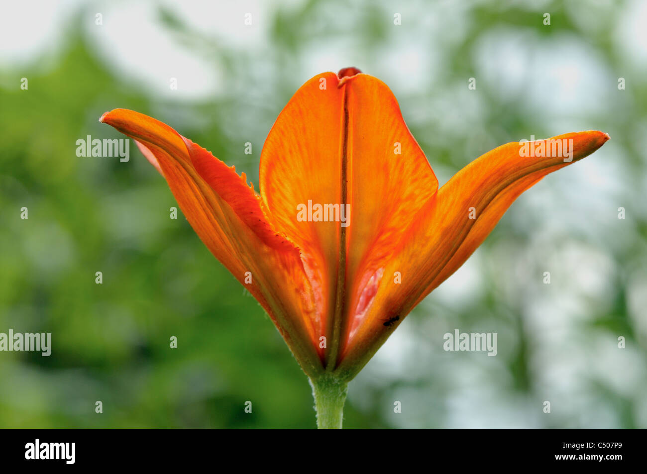 Flower of red lily with a soft background. - Stock Image