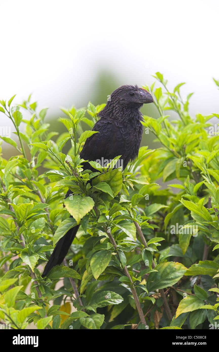 Smooth-billed Ani Crotophaga ani - Stock Image