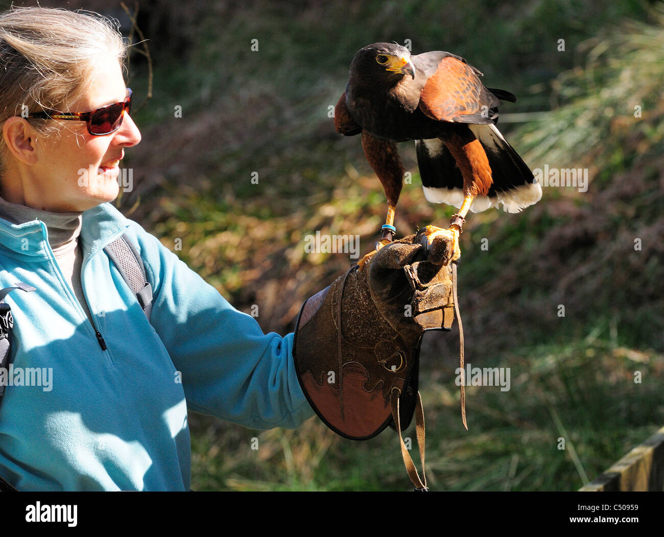 Monty 'the Harris Hawk   tethered  to  the glove at the  Birds of Prey Center   Kielderwater and Forest park - Stock Image