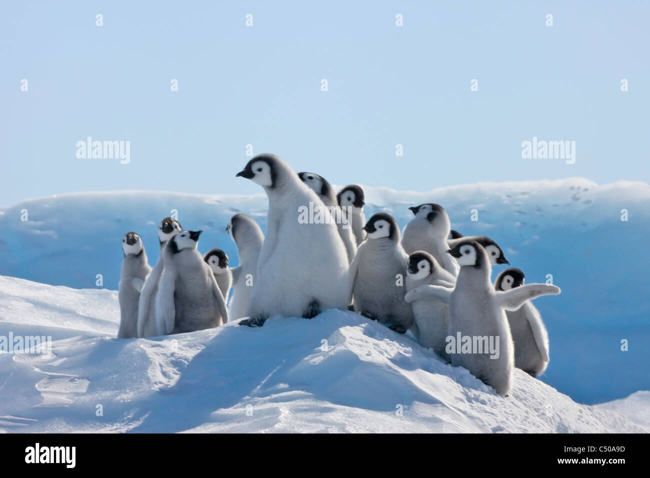 Emperor Penguin chicks climbing a small ice mound, Snow Hill Island, Antarctica - Stock Image