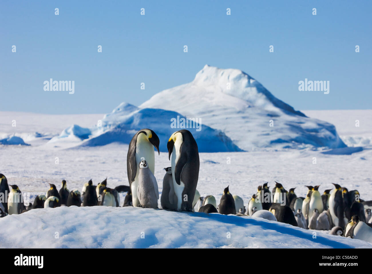 Emperor Penguin parent with chick on ice, Snow Hill Island, Antarctica Stock Photo