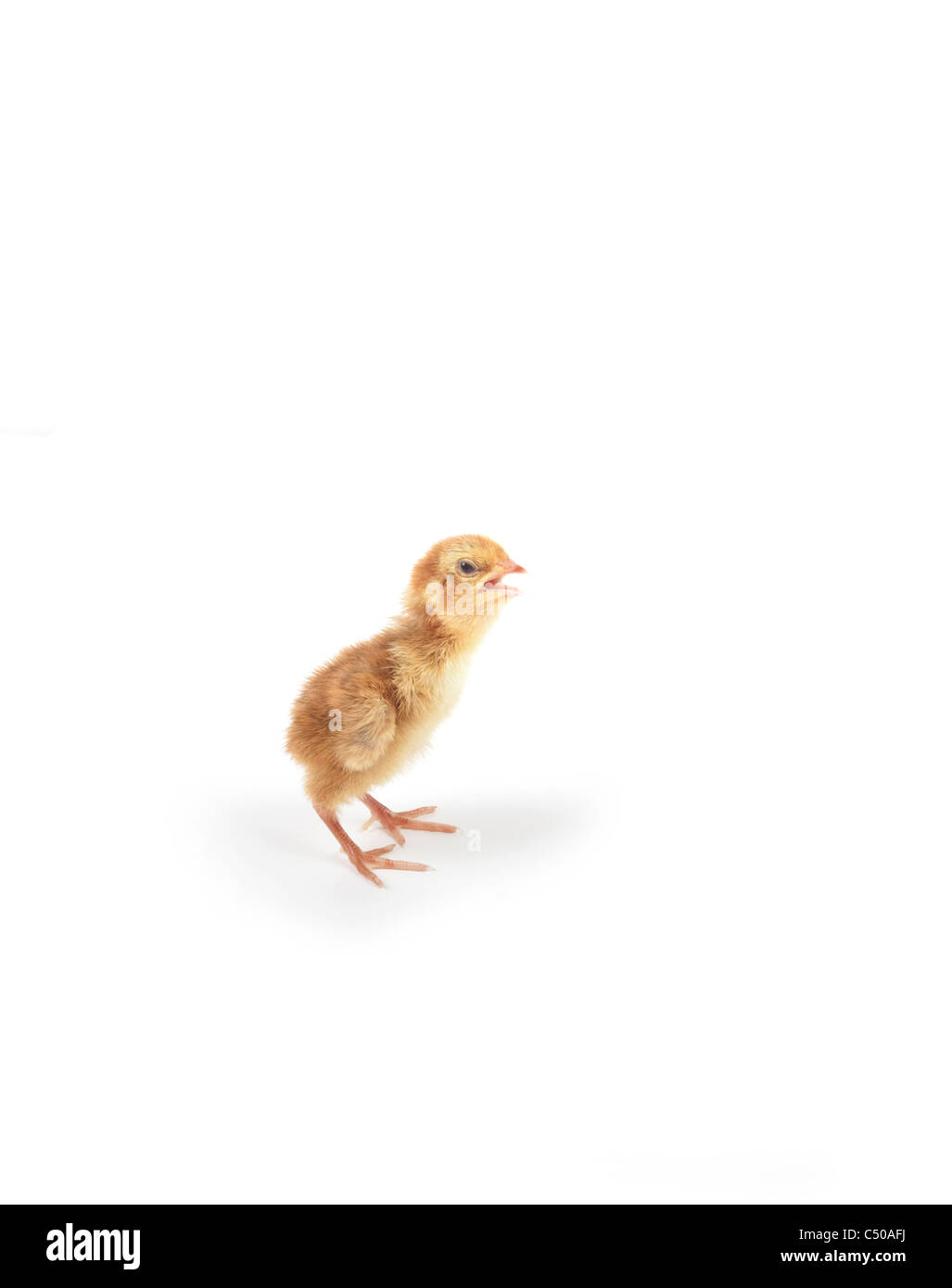 quail chick isolated on white background - Stock Image
