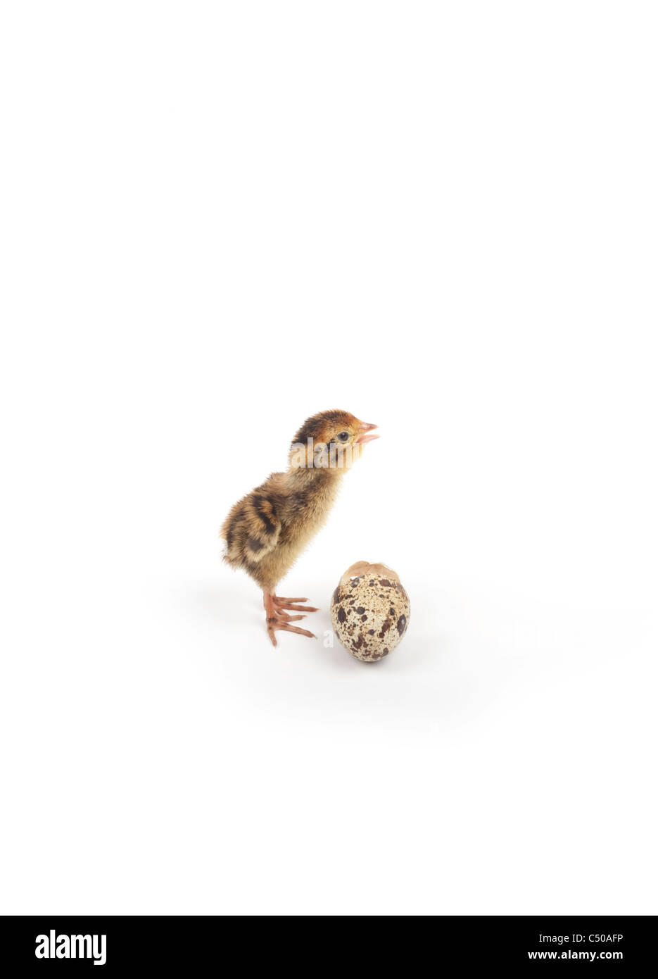 quail chick with broken egg isolated on white background - Stock Image