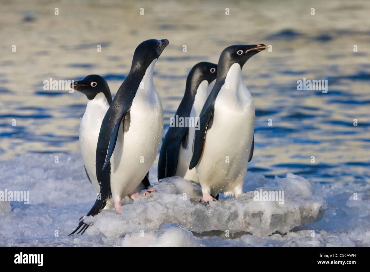 Adelie Penguin on South Shetland Island, Antarctica - Stock Image