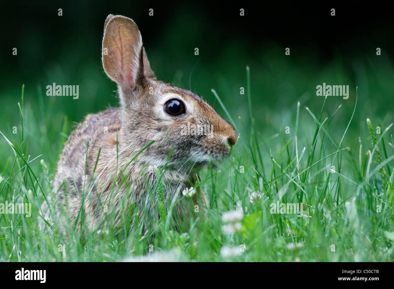 Wild rabbit - Stock Image