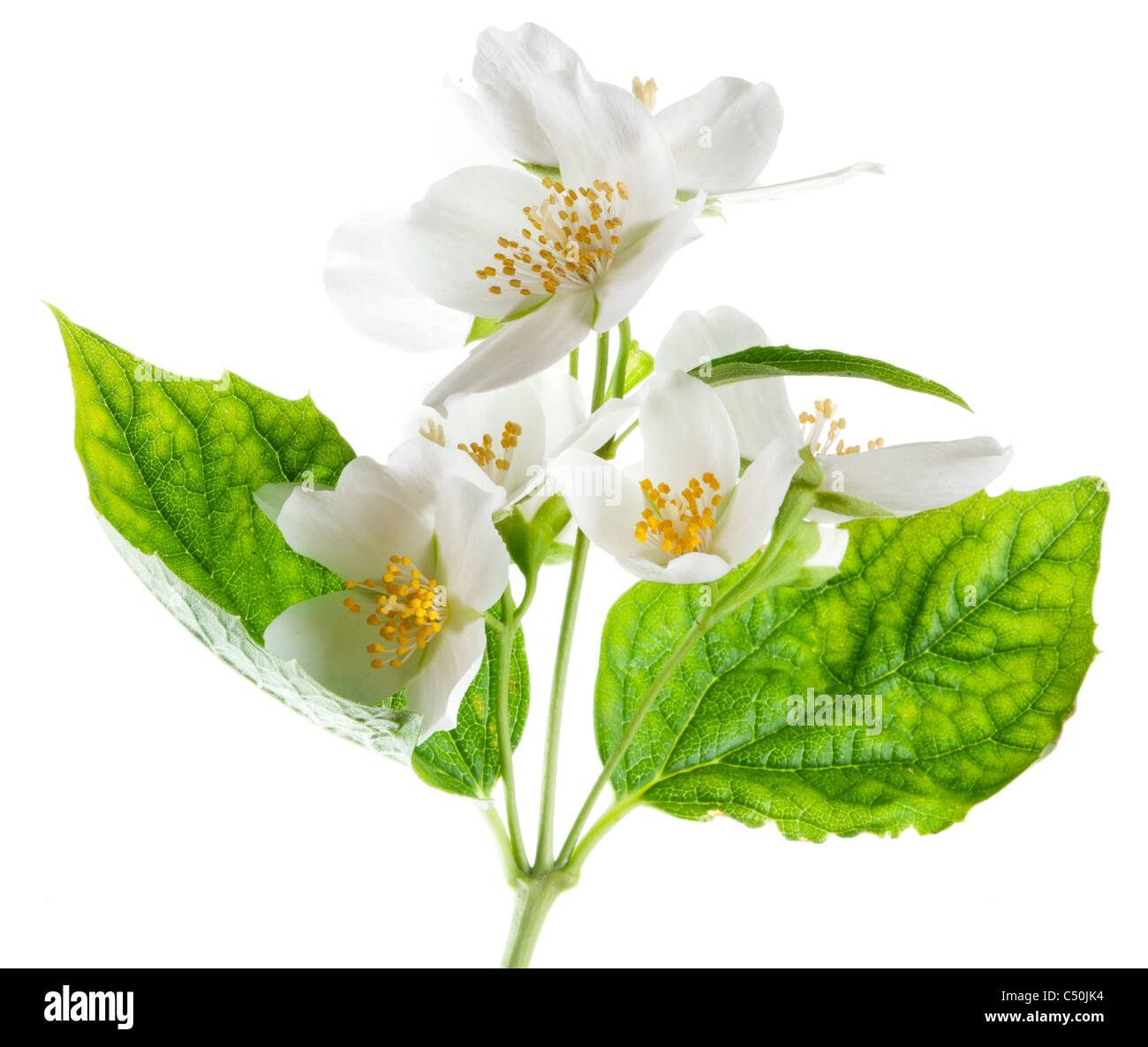 Jasmine flowers isolated on a white background. - Stock Image