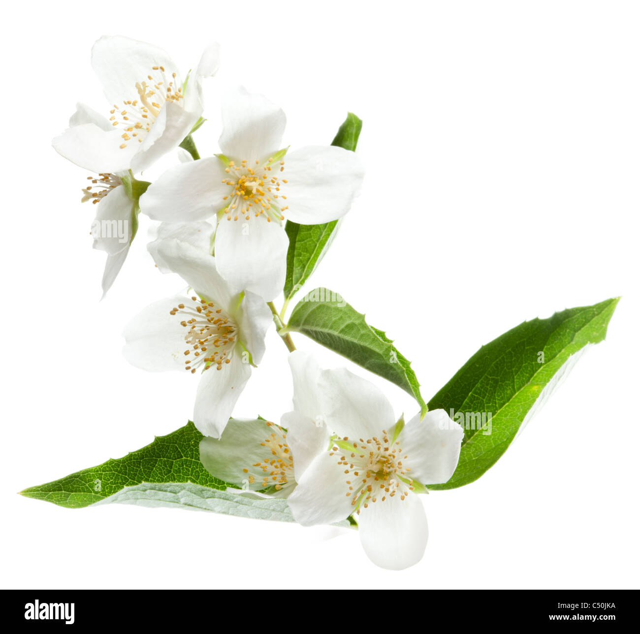 White Jasmine Stock Photos & White Jasmine Stock Images