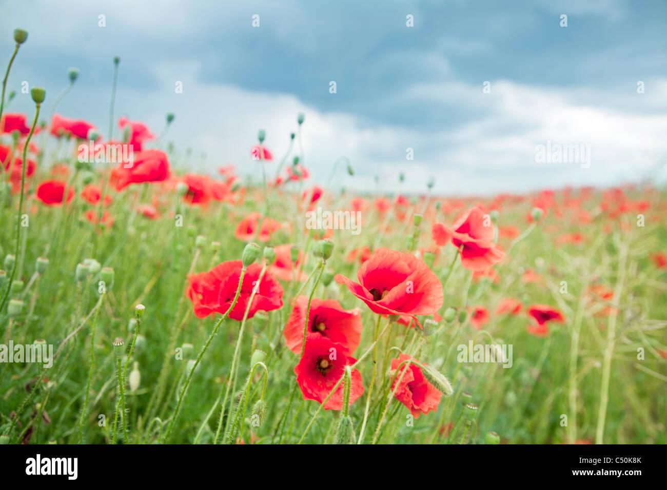 Wild poppy flowers on blue sky background. Stock Photo