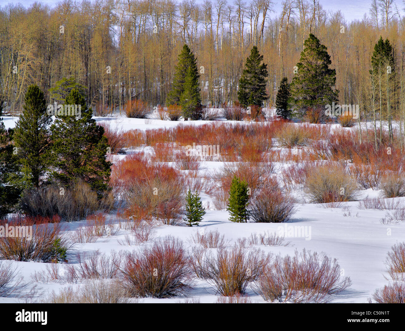 Red willows and snow in meadow. Humbolt-Toiyabe National Forest, California - Stock Image