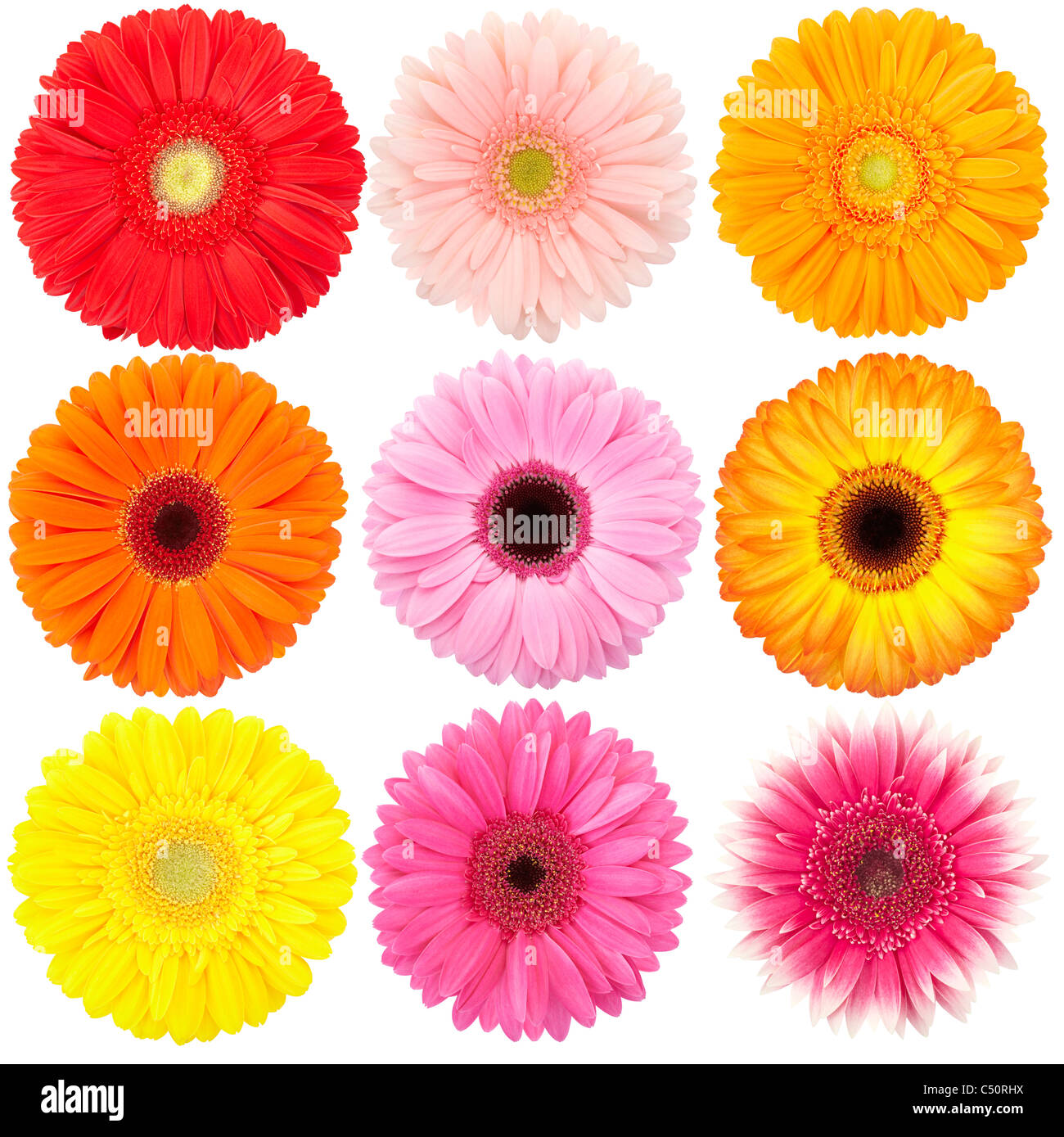 Flower of gerber daisy collection isolated on white - Stock Image