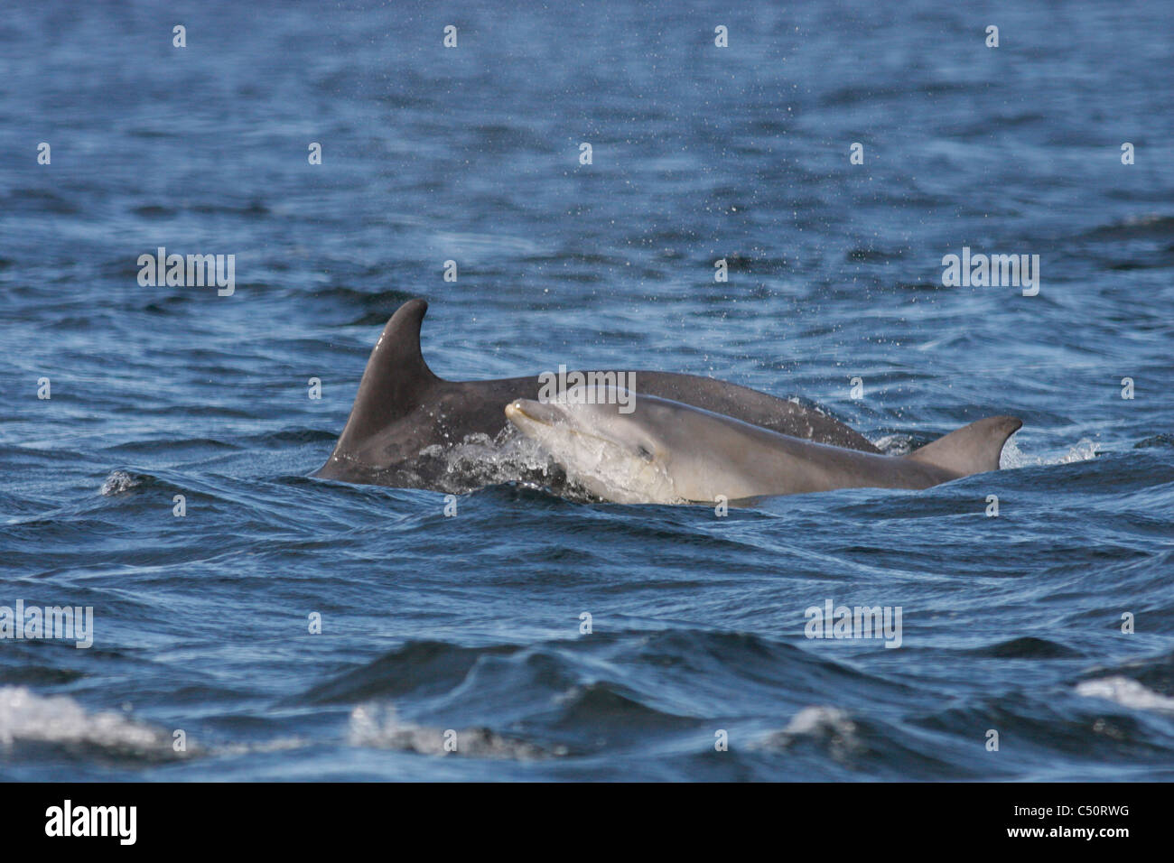 Young Bottlenose dolphin (Tursiops truncatus) swimming next to its mother, Moray Firth, Scotland, UK - Stock Image