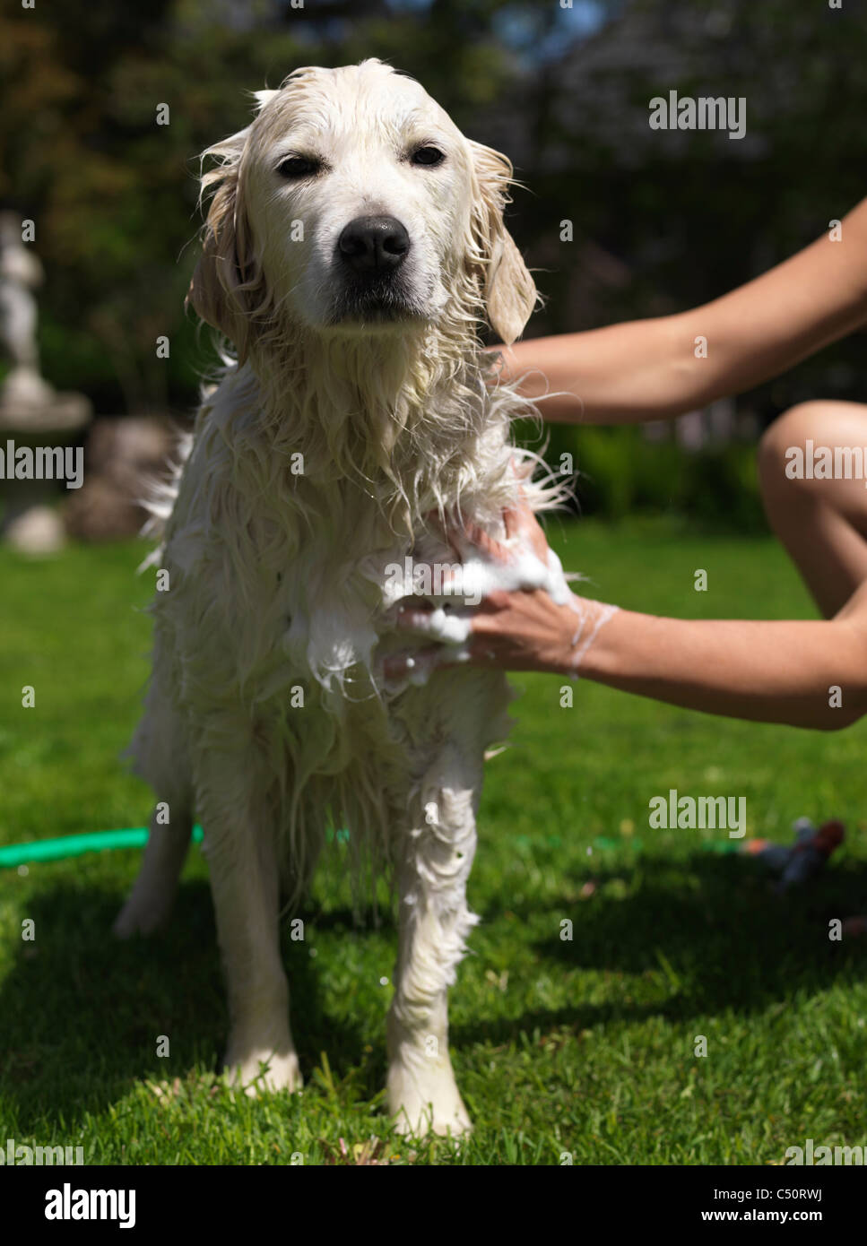 Young woman giving her Golden Retriever a bath in a back yard - Stock Image