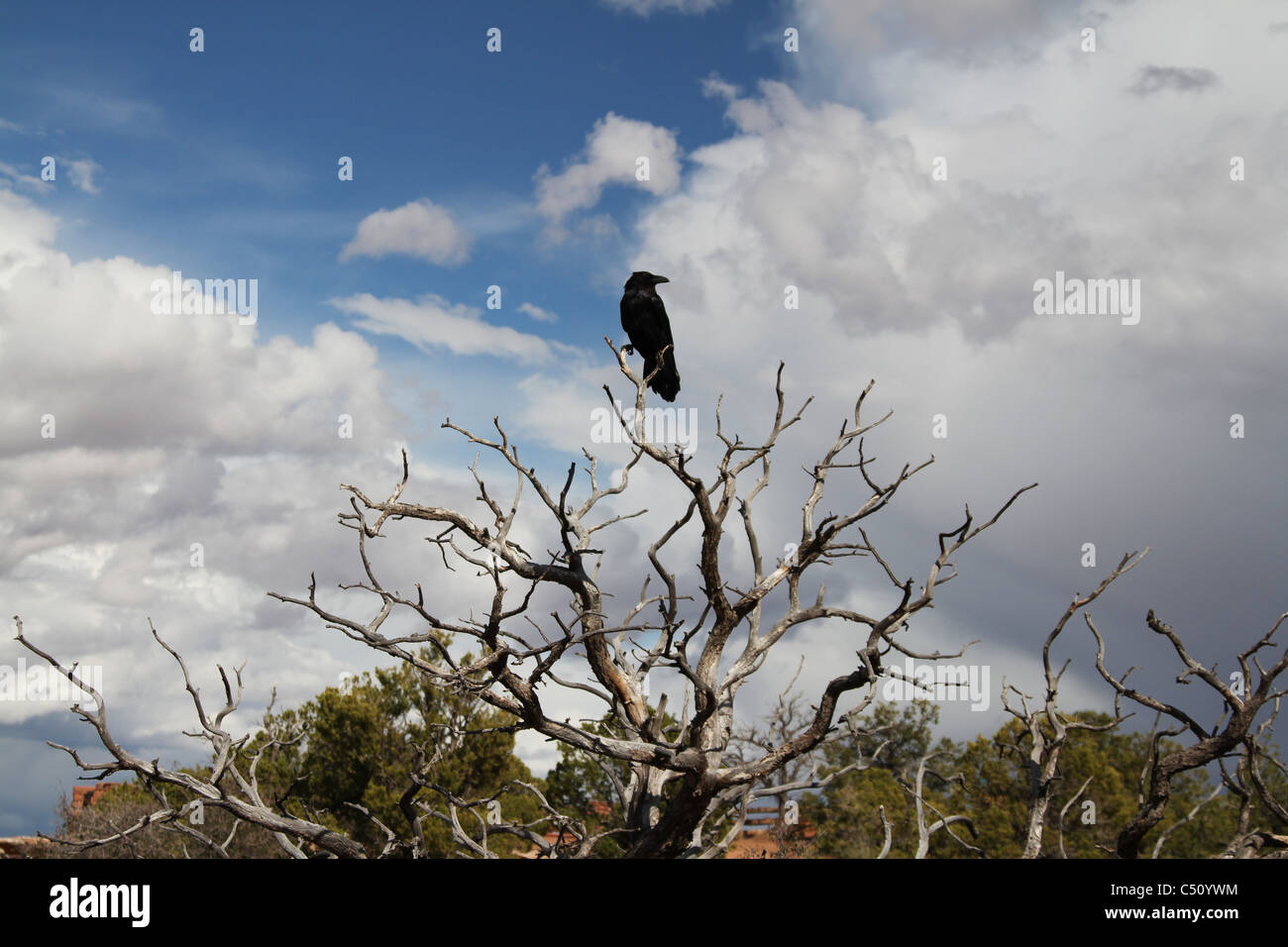crow on a tree branch in canyonland national park - Stock Image