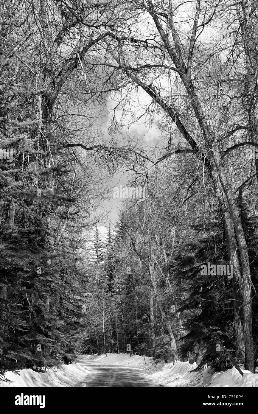 Black and white panoramic winter scenic of rural road through snow and tall trees in Colorado, western US WOP - Stock Image