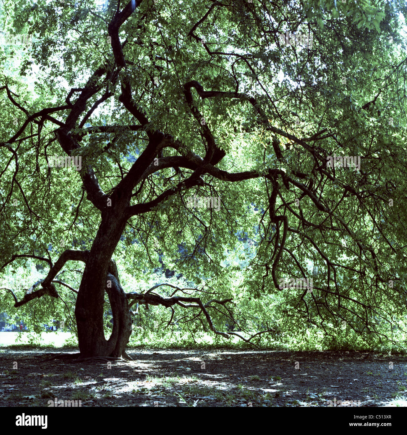 Large tree with twisted trunk - Stock Image