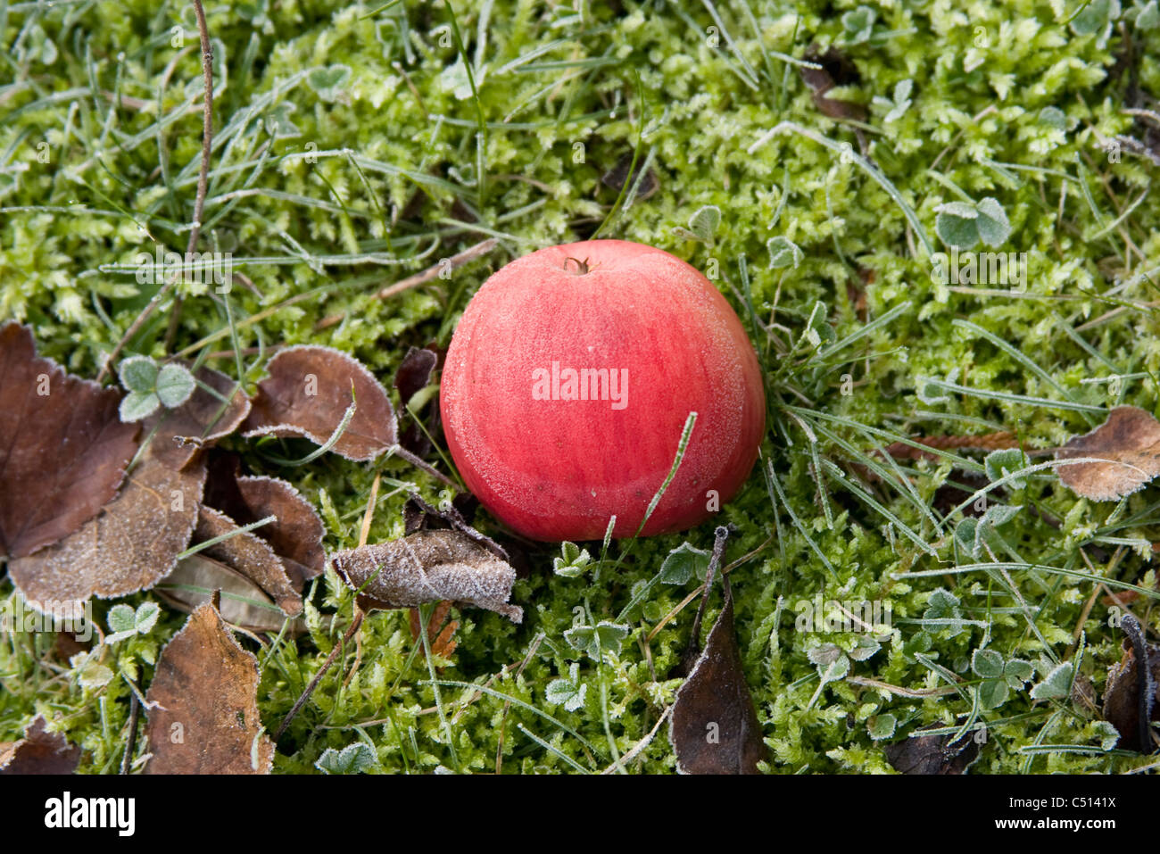 Frost covered apple resting on the ground - Stock Image