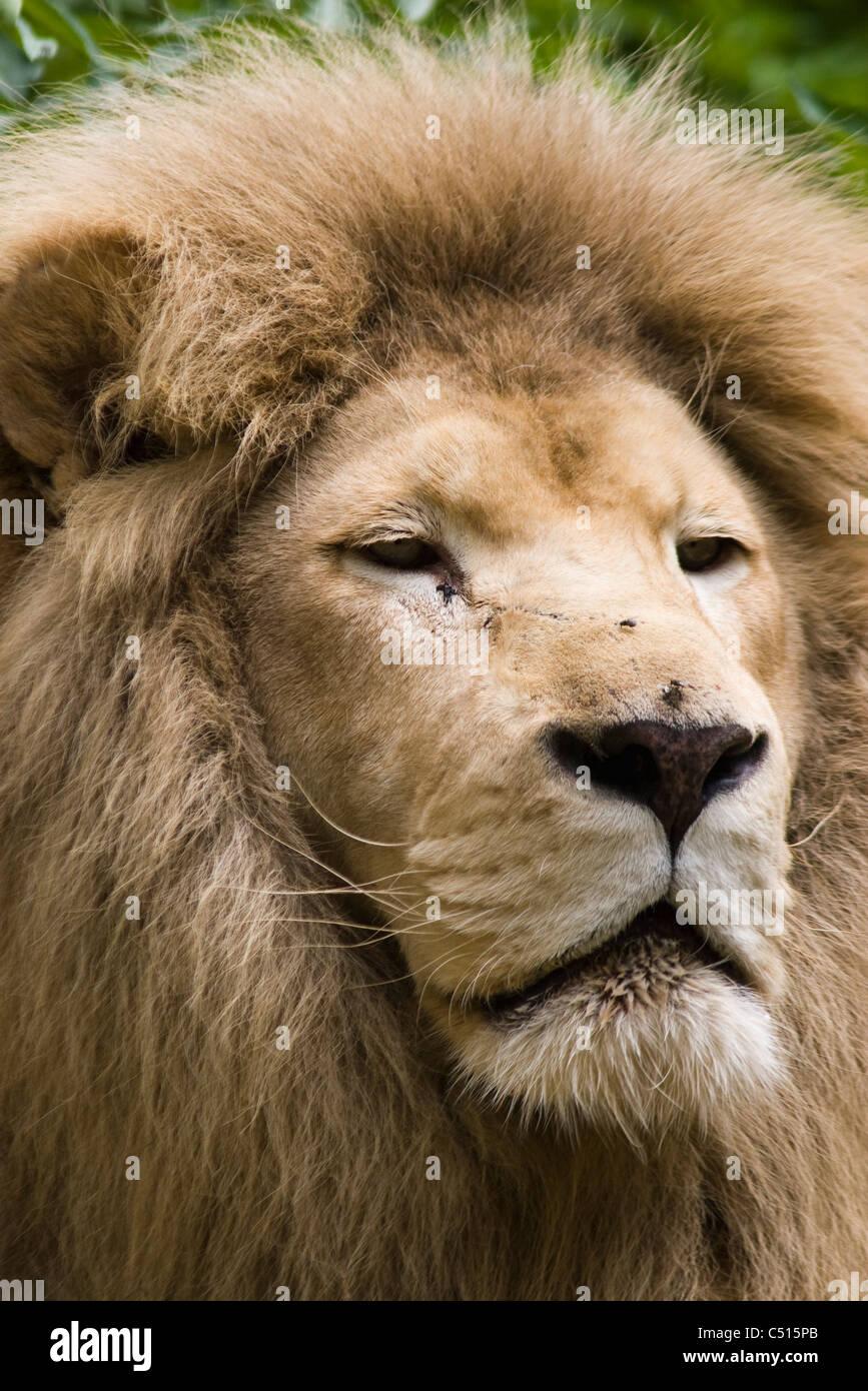 Lion, portrait Stock Photo