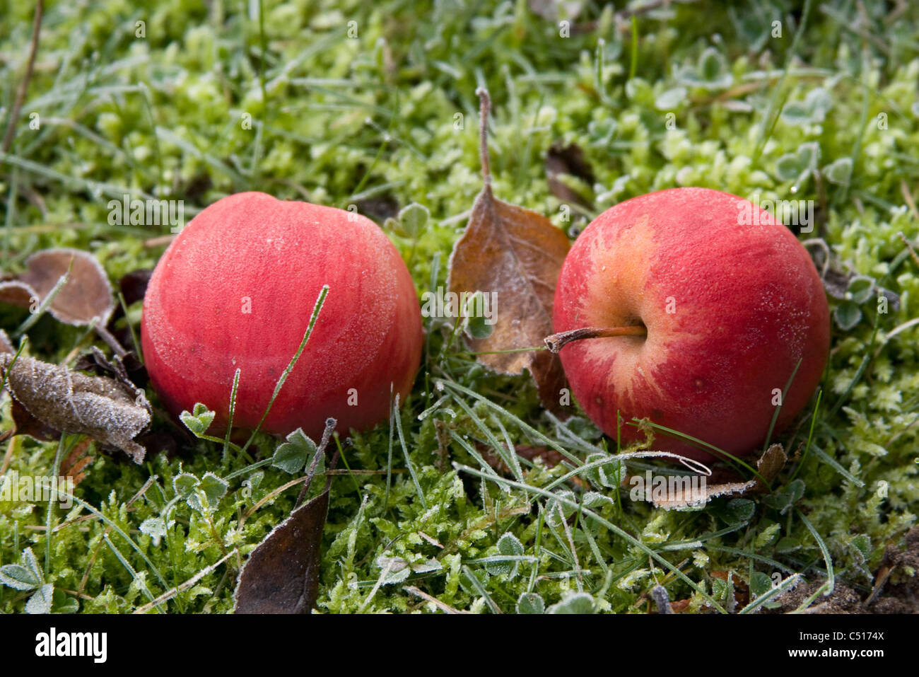 Frost covered apples resting on the ground - Stock Image