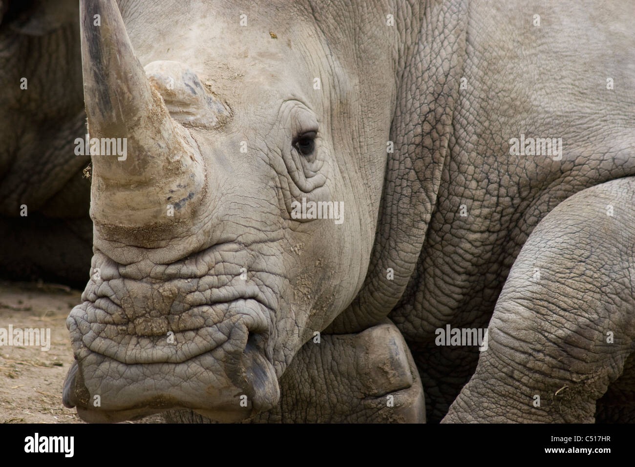 Rhinoceros - Stock Image
