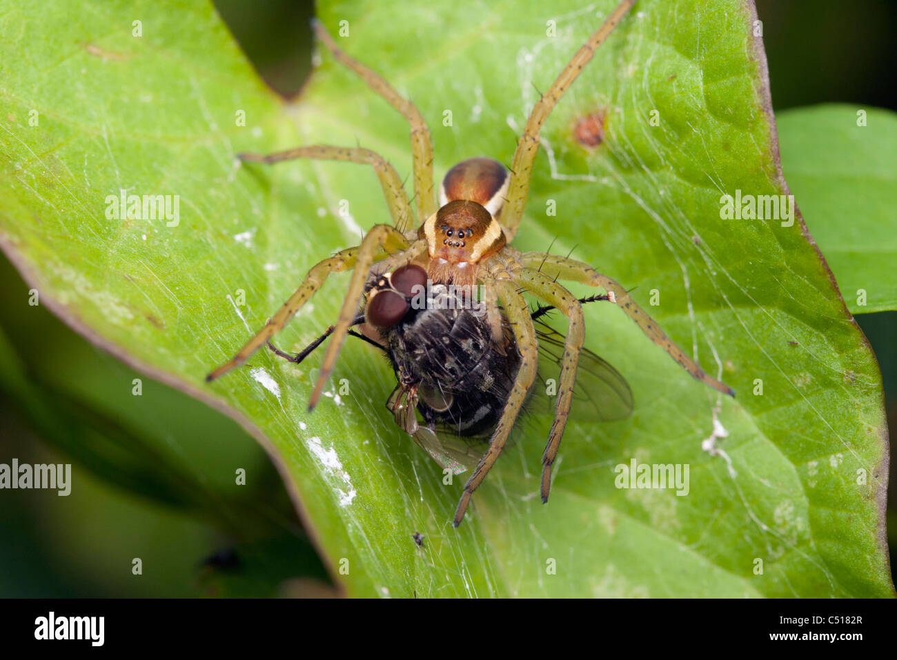 Spider catching a fly - Stock Image