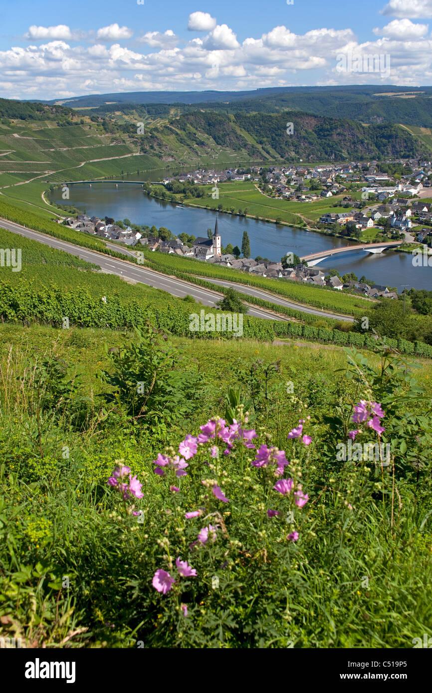 Piesport an der Mosel, Mittelmosel Rheinland-Pfalz Deutschland, Moselle river Rhineland-Palatinate Germany - Stock Image