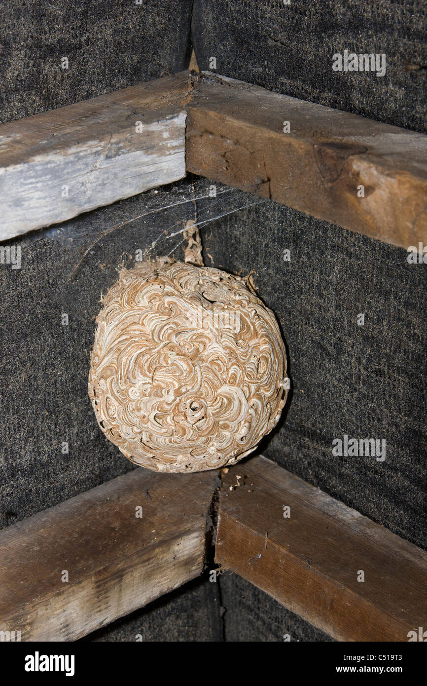 Abandoned wasps' nest stuck to the felt and rafters of the ...
