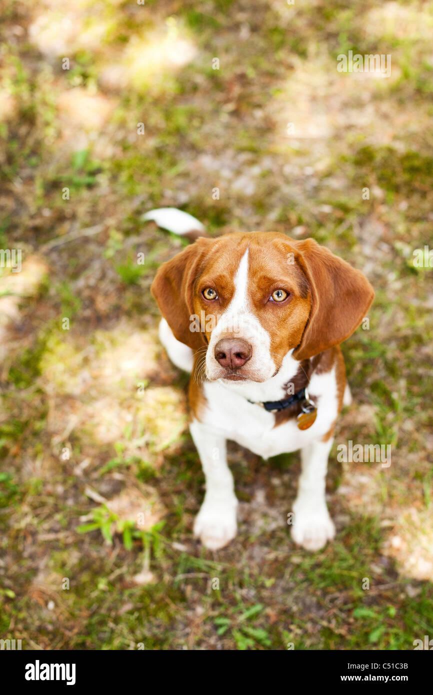 Portrait of Beagle sitting - Stock Image