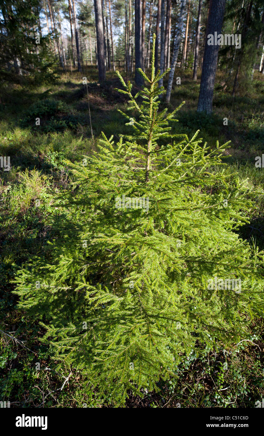 Spruce ( picea abies ) sapling growing in the forest Stock Photo