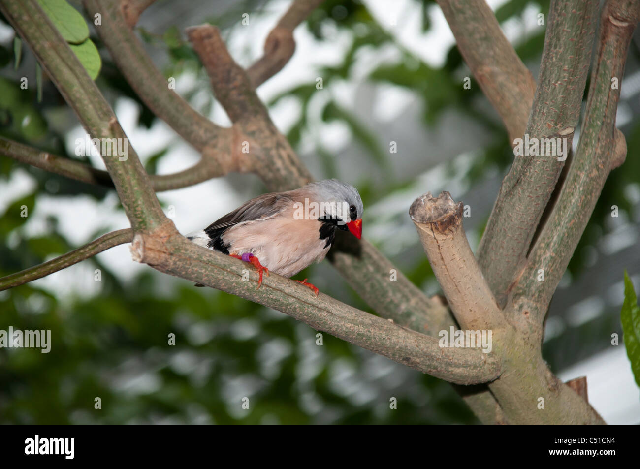 Zebra Finch in a tropical house on the island Mainau in the Lake of Constance.  Zebrafink im Schmetterlingshaus - Stock Image
