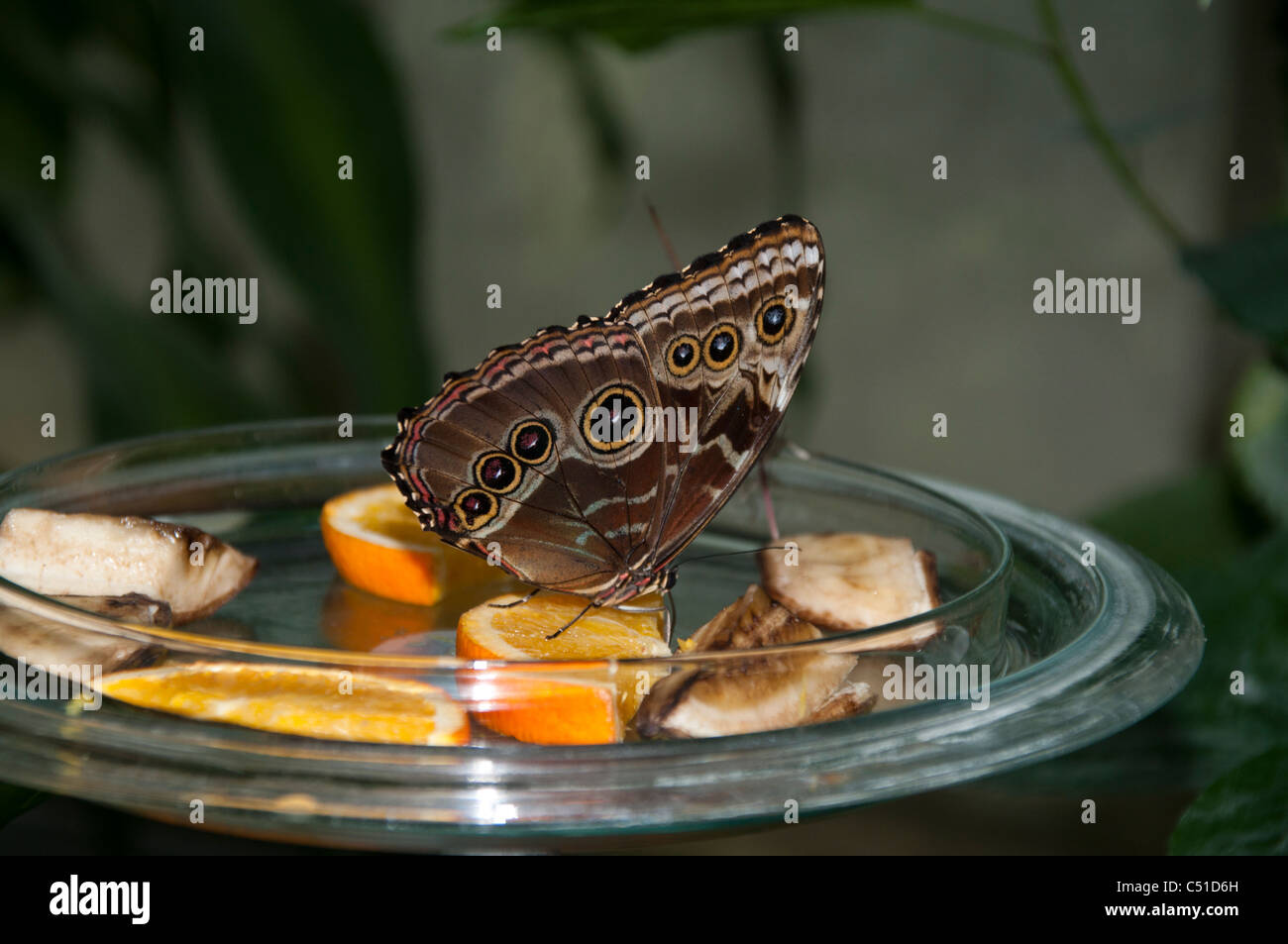 Butterfly in a tropical house on the island Mainau in the Lake of Constance Schmetterling im Schmetterlingshaus - Stock Image