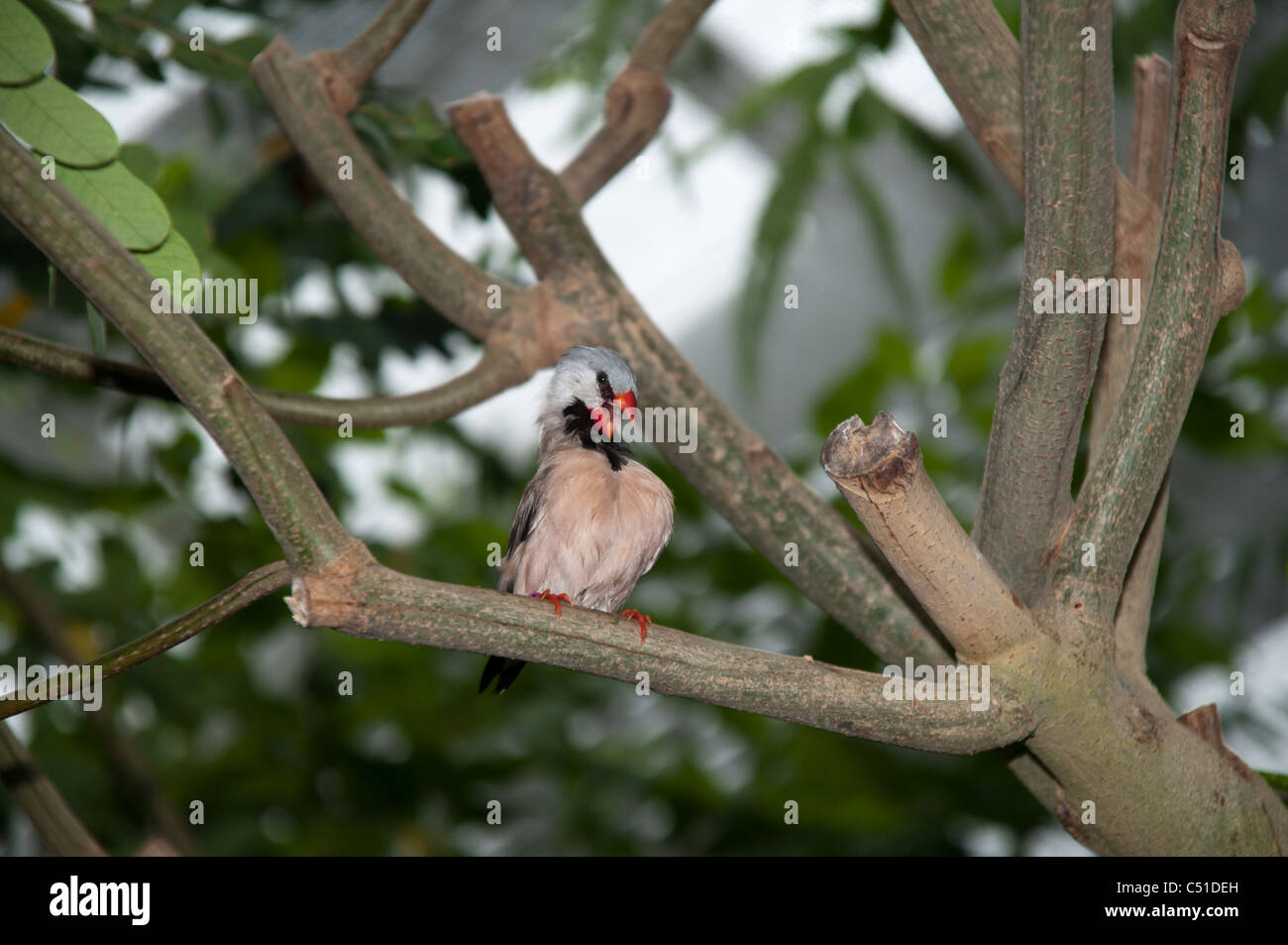 Zebra Finch in a tropical house on the island Mainau in the Lake of Constance. Zebrafink im Schmetterlingshaus der - Stock Image