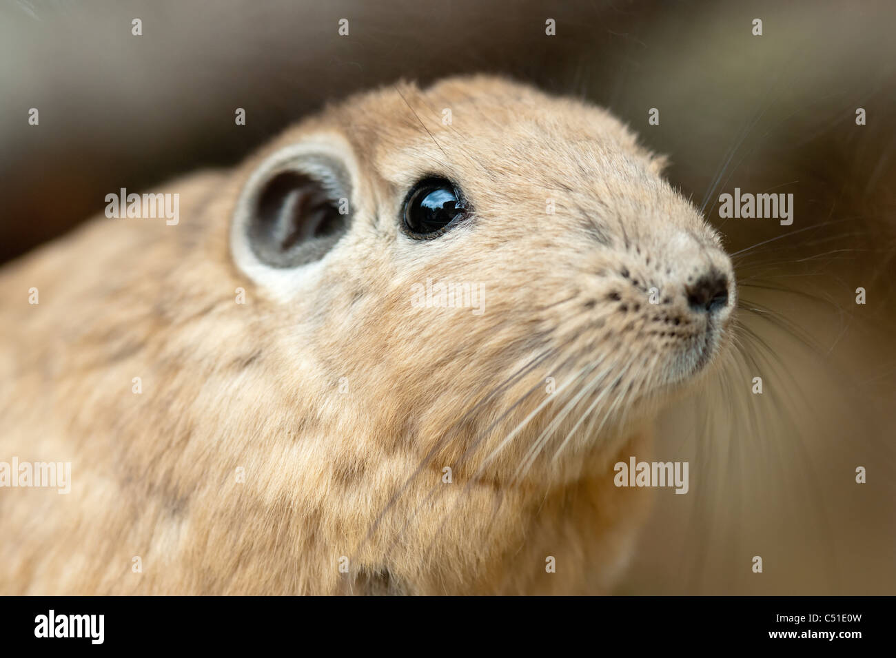 gundis are unusual rodents from north africa - Stock Image