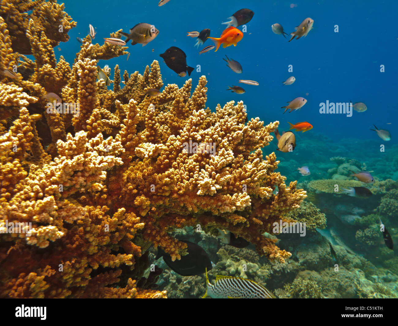Stony Coral colonies and a variety of colorful fish on the Great Barrier Reef Australia - Stock Image