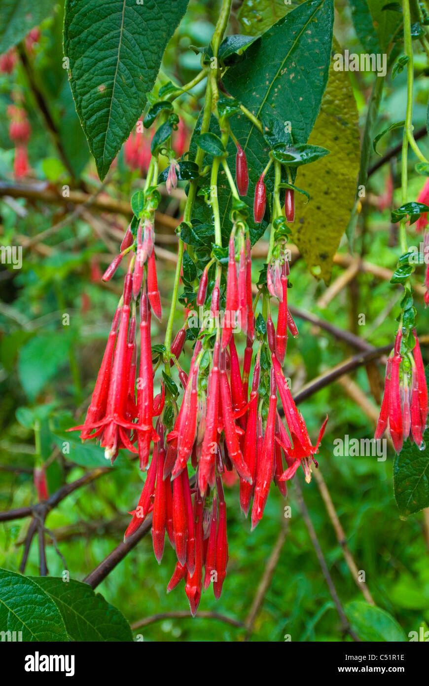 Salvia (Labiateae) growing in the Andes cloud forest near the Inca Trail in Peru Stock Photo