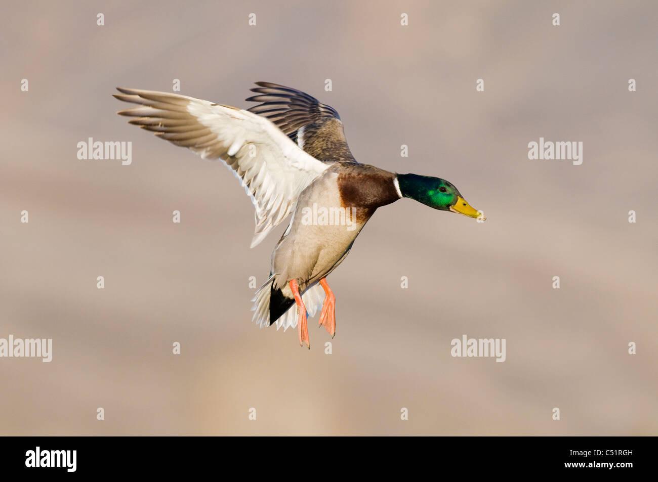Drake mallard (Anas platyrhynchos) landing - Stock Image