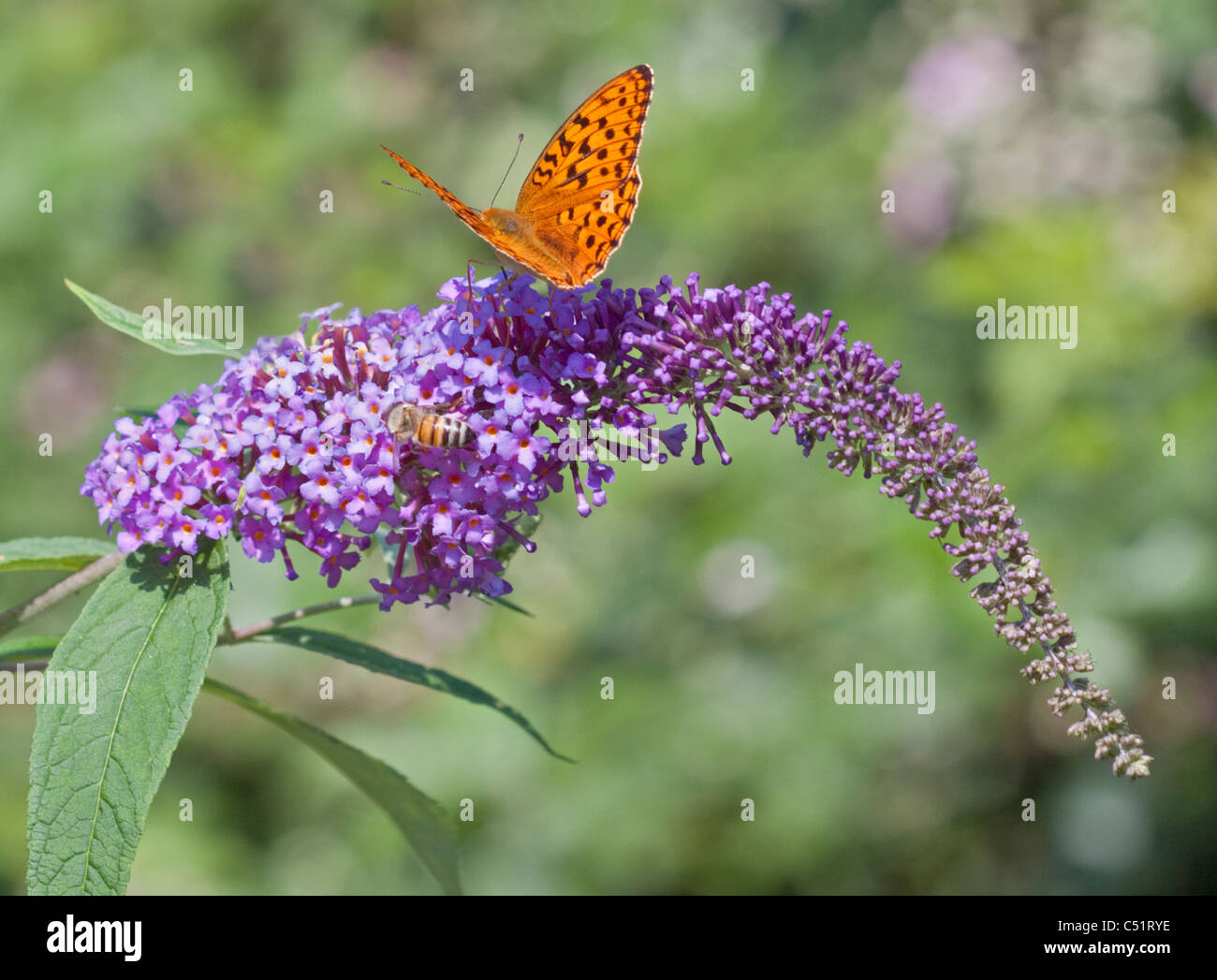 Dark Green Fritillary Butterfly (argynnis aglaga) and Honey Bee on Wild Buddleia, Dolomites, Italy - Stock Image