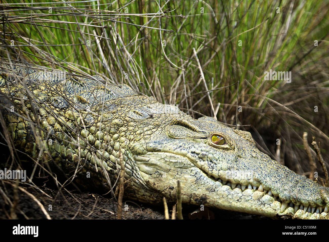 NILE CROCODILE ( Crocodylus niloticus ) Saadani National Park Tanzania Stock Photo