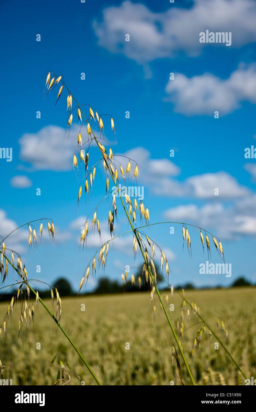 Wild oats Avena Fatua Stock Photo
