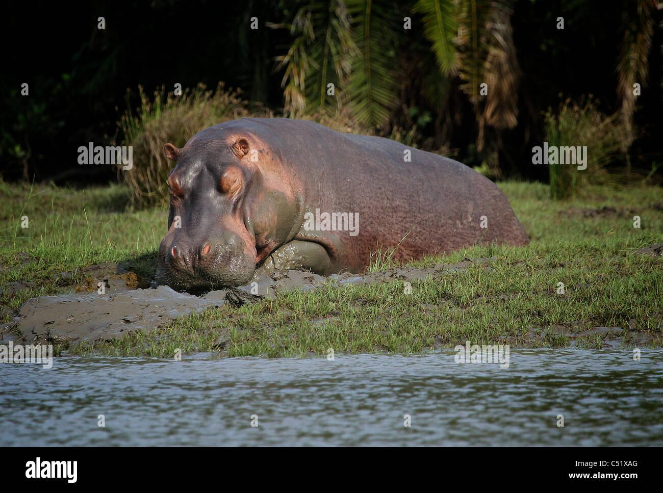 HIPPOPOTAMUS ( Hippopotamus Ampibius ) Saadani National Park Tanzania - Stock Image