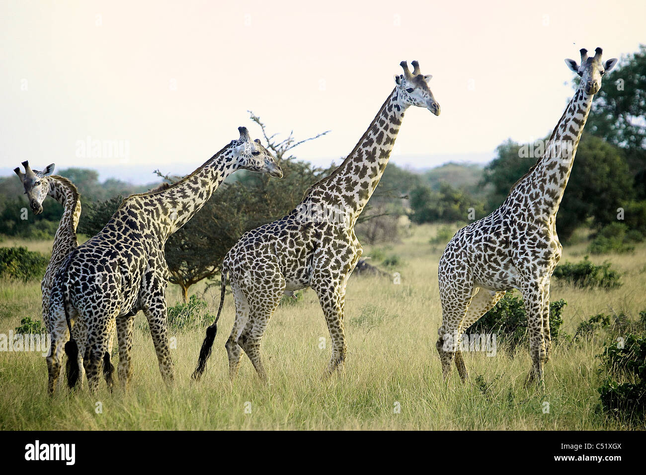 Giraffe Giraffa camelopardalis Saadani Tanzania Africa - Stock Image