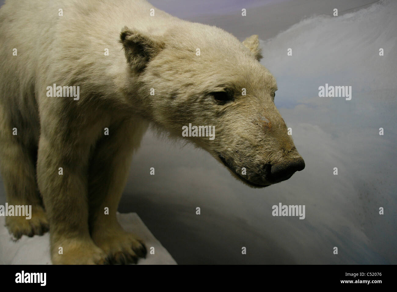 A stuffed / mounted polar bear seen in the Natural history museum of Leipzig, Germany. - Stock Image
