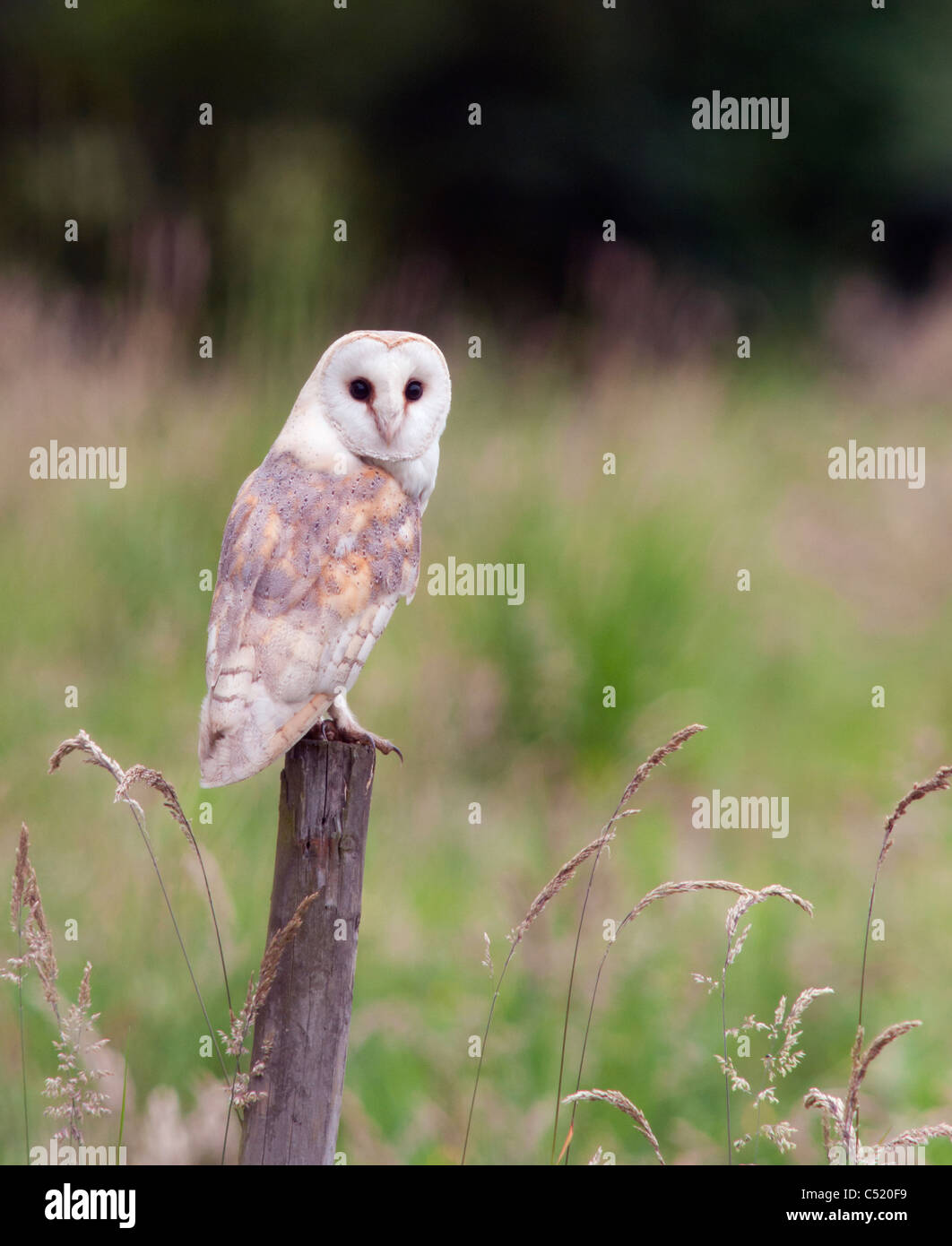 Wild Barn Owl perched on wooden fence post, Norfolk - Stock Image