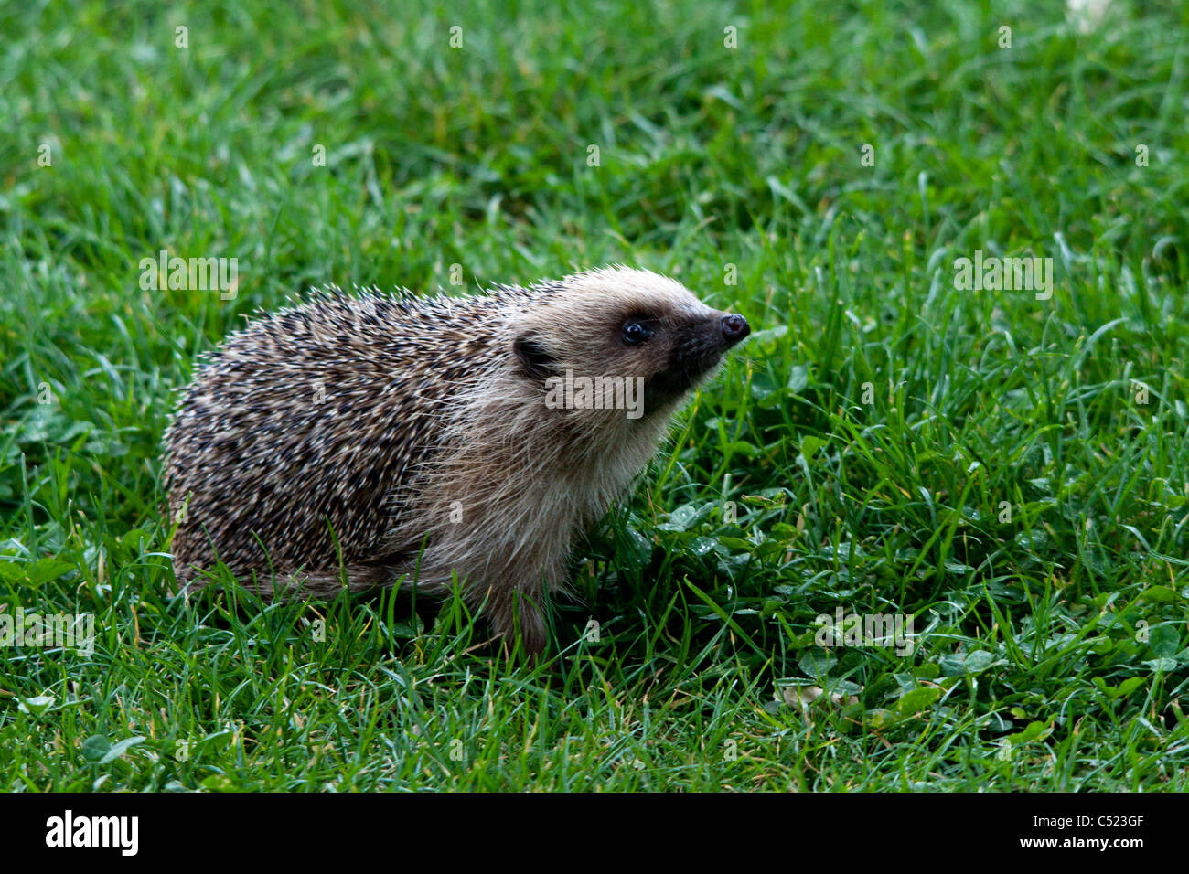 A Hedgehog looking for food at the British Wildlife Center - Stock Image
